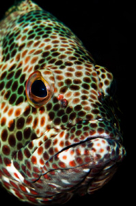 Ascension Island Grouper by Paul Colley 
